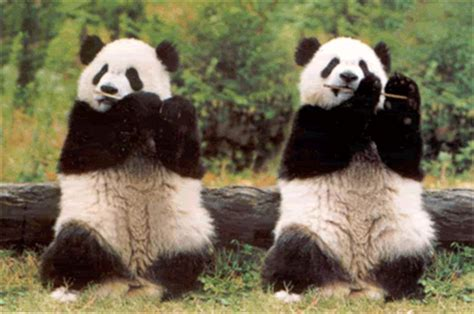 pandas gif find & share on giphy
