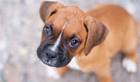 boxers dogs boxer breed information