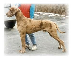 colors of great danes color fawnequin great dane are there quot correct
