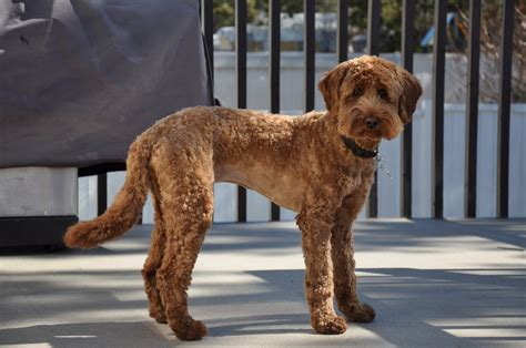 labradoodle puppy cut before and after labradoodles of the