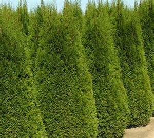 ottawa lakeside nursery evergreen shrubs