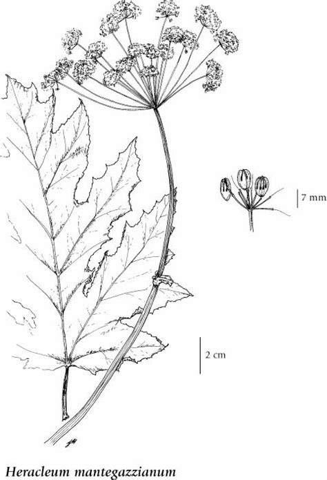 E-Flora BC: Electronic Atlas of the Flora of BC