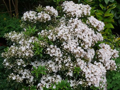 mountain laurel gammon s garden center landscape nursery