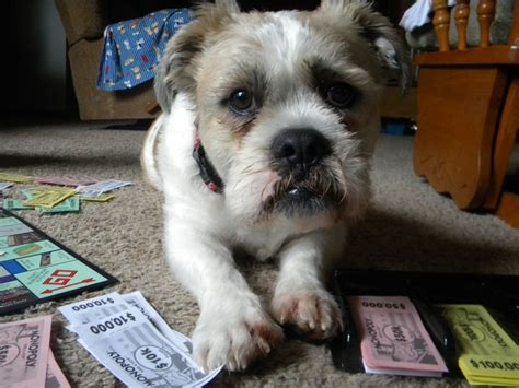 shih tzu bulldog mix bulldog shih tzu mix