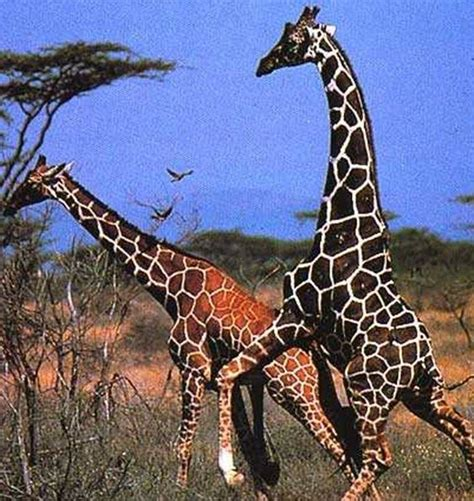 imagenes de jirafas con reflexion caracter 237 sticas de las jirafas