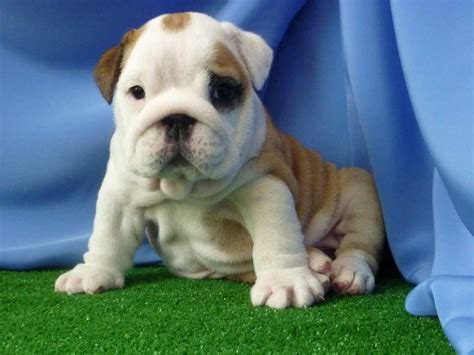 bulldog puppies for sale in ohio 1000 image gallery mini bulldogs