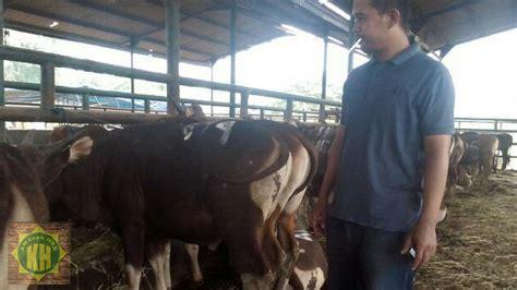 Timbangan Sapi Hidup tempat jual dan harga sapi qurban 2017 di jakarta