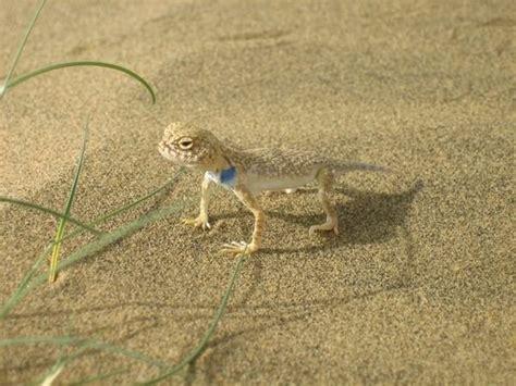 thar desert animals lizard in the thar desert photo