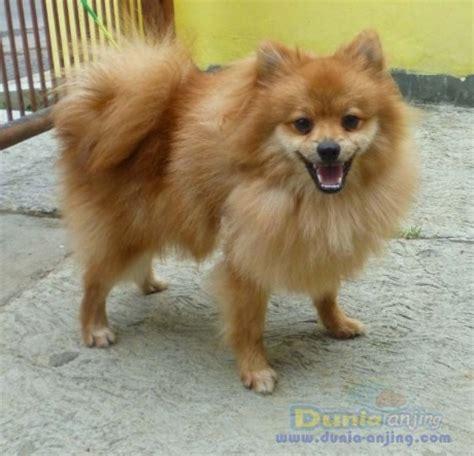 Sale Gemuk dunia anjing jual anjing pomeranian for sale pom jantan 8 bulan