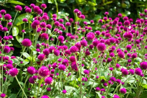 purple pink annual flowers picture jpg 2 comments hi res 720p hd