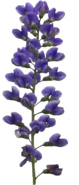 decadence blueberry sundae false indigo baptisia