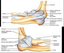 ligaments radial collateral a and p ulnar
