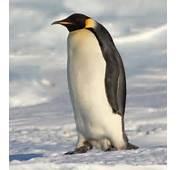 Quelle Est La Diff&233rence Entre Manchot Et Pingouin