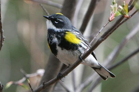 yellow rumped warbler naturally curious with mary holland