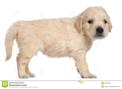 4 week golden retriever golden retriever puppy 4 weeks stock photos image 18673483