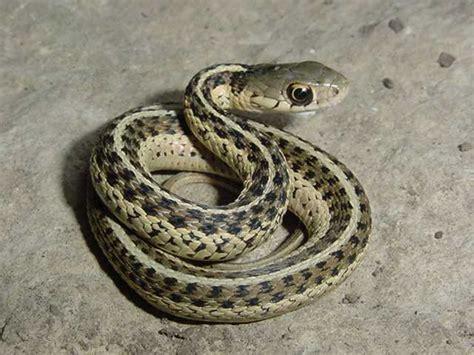 Garter Snake Juvenile Easterngartersnake