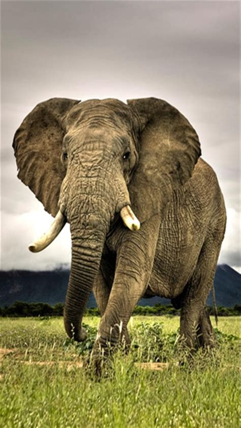 wallpaper iphone elephant elephant 2 animal iphone wallpapers iphone 5 s 4 s 3g