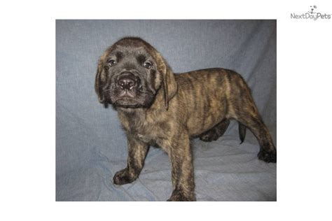 brindle mastiff puppy mastiff puppy for sale near southeast missouri missouri df99bfdc a1b1
