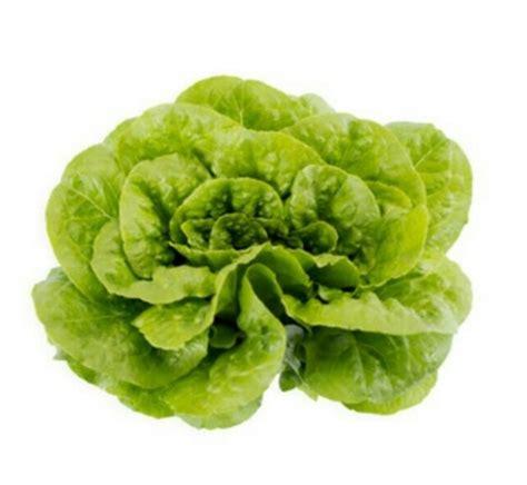 Spesial Benih Selada Lettuce Rijk Zwaan jual benih selada romaine galdos rijk zwaan isi 100 pil