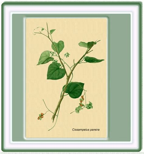 Basic76 Htm plantas medicinales cisselus