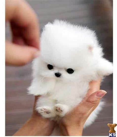 adorable pomeranians pomeranian teacup adorable animals