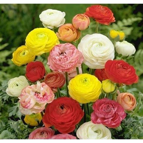 ranuncolo fiore ranuncolo perenni consigli coltivare ranuncolo