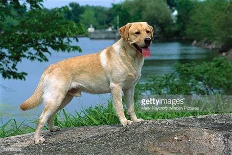 pictures of yellow lab puppies yellow labrador retriever stock photos and pictures getty images