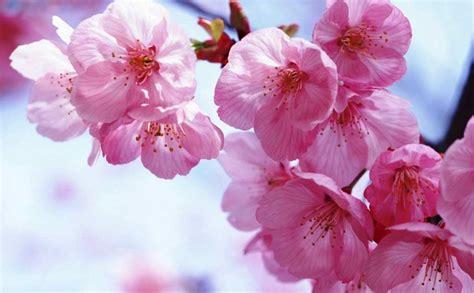 gambar pemandangan bunga sakura keren terbaru blog