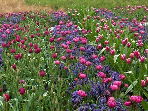 tulipani in giardino il giardino dei tulipani il viaggiatore magazine