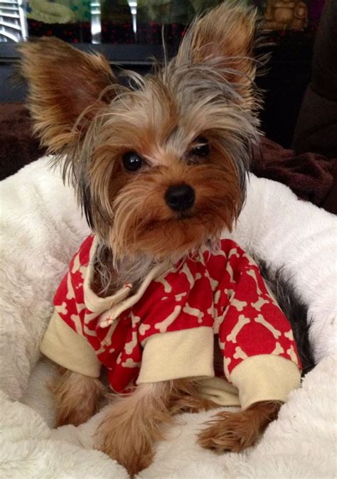 7 month yorkie yorkie puppy leia 8 months for shea and macy yorkie puppys and
