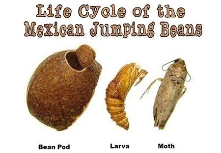 Jumping Beans 8 F what is inside mexican jumping beans updated quora