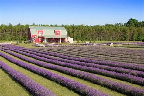 when is lavender in season in michigan the sweet smell of lavender will draw you to this