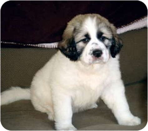 great pyrenees anatolian shepherd mix puppies for sale great pyreneesanatolian shepherd mix for sale in tulsa oklahoma breeds picture