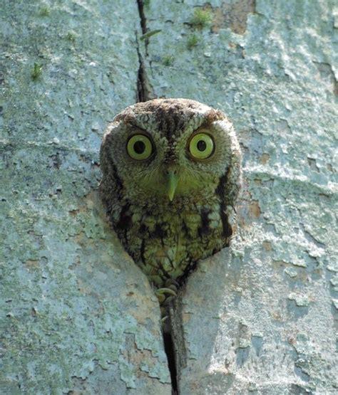eastern screech owl megascops asio at nest hollow photo