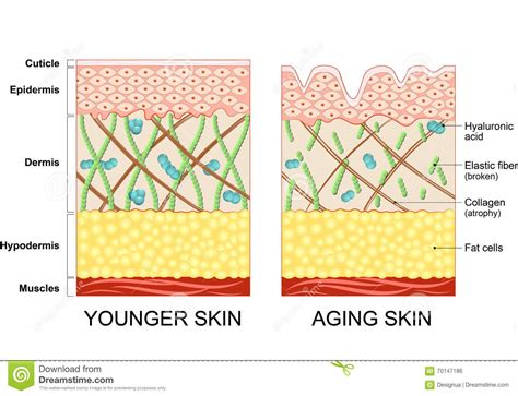 Collagen Skin younger skin and skin stock vector illustration of