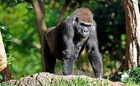amazon rainforest animals gorilla gorilla rainforest milestone zoos victoria