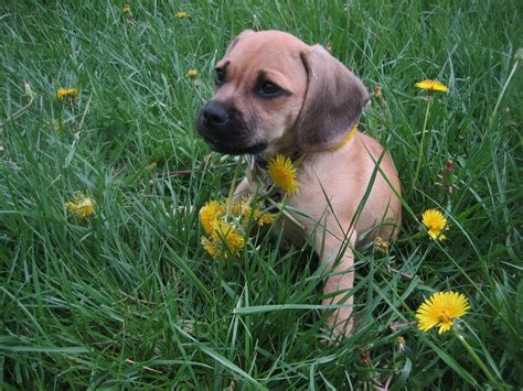 puggle puppies file puggle puppy jpg