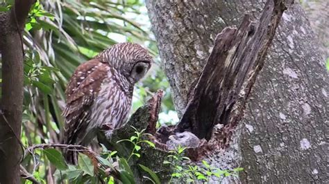 nesting barred owl part 1 youtube