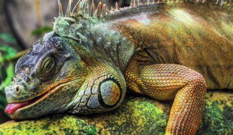 do iguanas change color iguana pictures lizard types