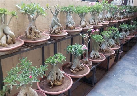Paket 4 Bibit Kamboja Adenium bonsai adenium plant buy adenium bonsai plants in