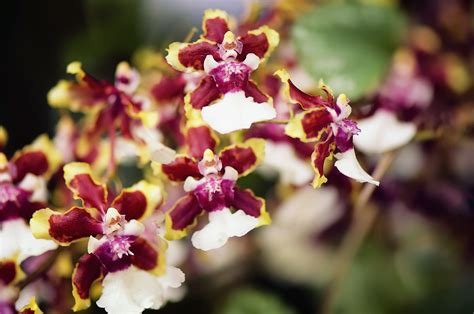 Flower Decorating Tips Oncidium Orchids Care And Growing Tips