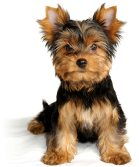 hair yorkie puppies terriers akc ocala florida