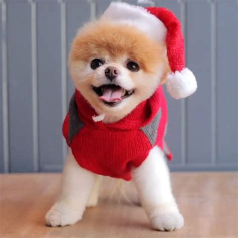 the pomeranian boo boo the pomeranian popsugar pets