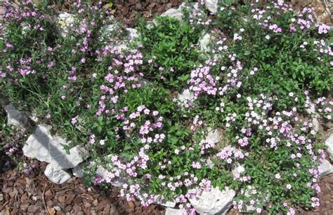 giardini rocciosi in ombra giardino roccioso la saponaria