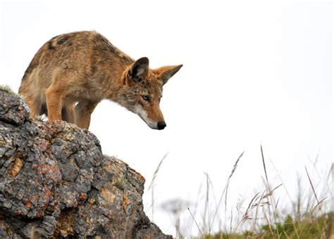 are coyotes dogs i animals when dogs and coyotes cross