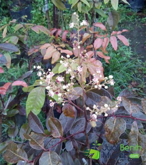 Bibit Lengkeng Merah inilah tips mudah tepat agar tanaman buah lengkeng merah