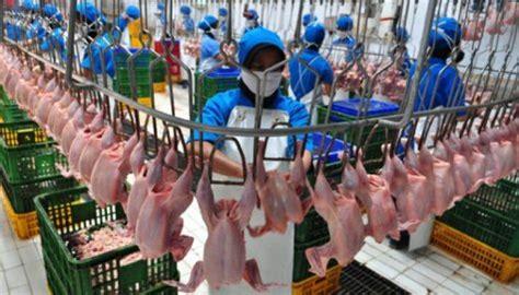 Keranjang Ayam Hidup teknotrek cara mengolah ayam massal dan hygenis di pabrik