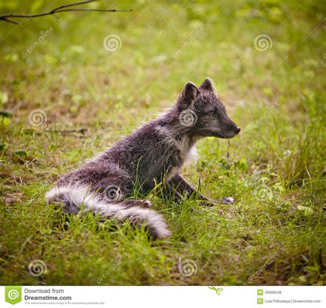 silver fox stock photo image 49568248