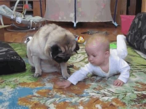 baby pug gif the smartest in the world chicken nuggets right out of the oven e news