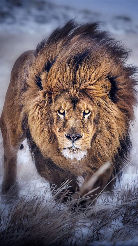 Wallpaper Iphone 7 Lion | lion wallpapers for iphone 7 iphone 7 plus iphone 6 plus